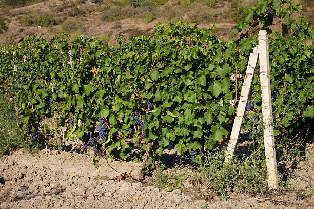 Vineyard in the Crimea stock photo