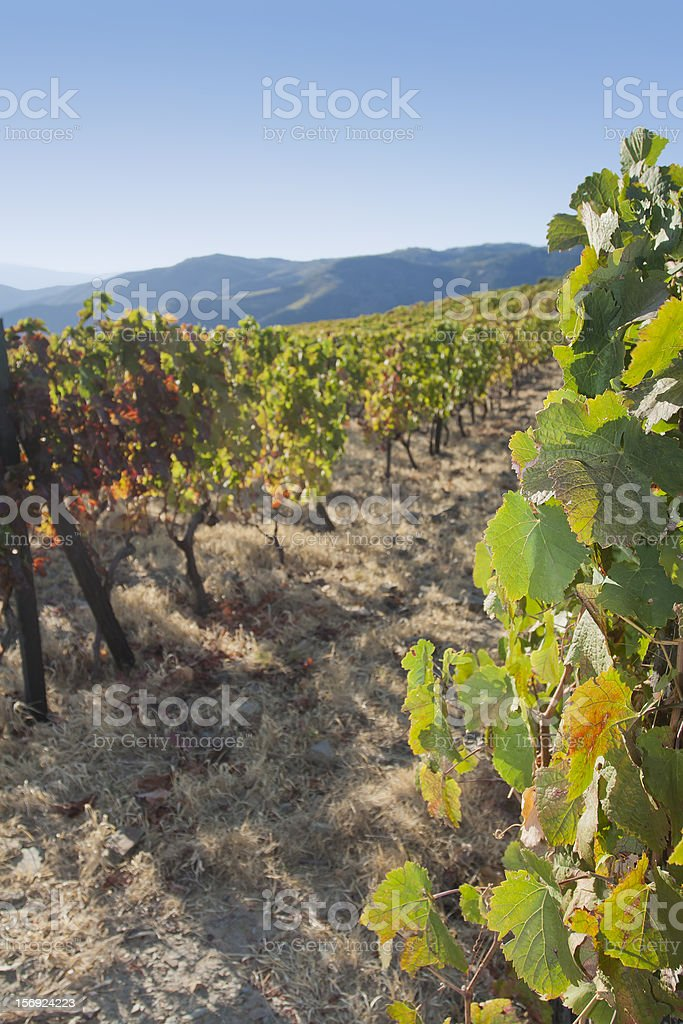 Vineyard in the Douro royalty-free stock photo