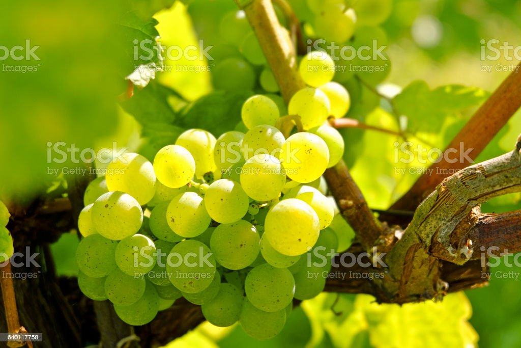 Vineyard in the famous Austrian winegrowing area Wachau (Spitz), Austria – Foto
