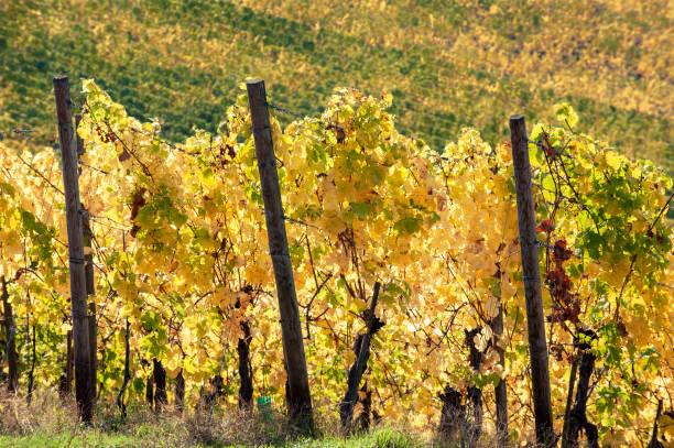 vingård i bergen i riesling vinområde mosel. - bernkastel kues höst bildbanksfoton och bilder