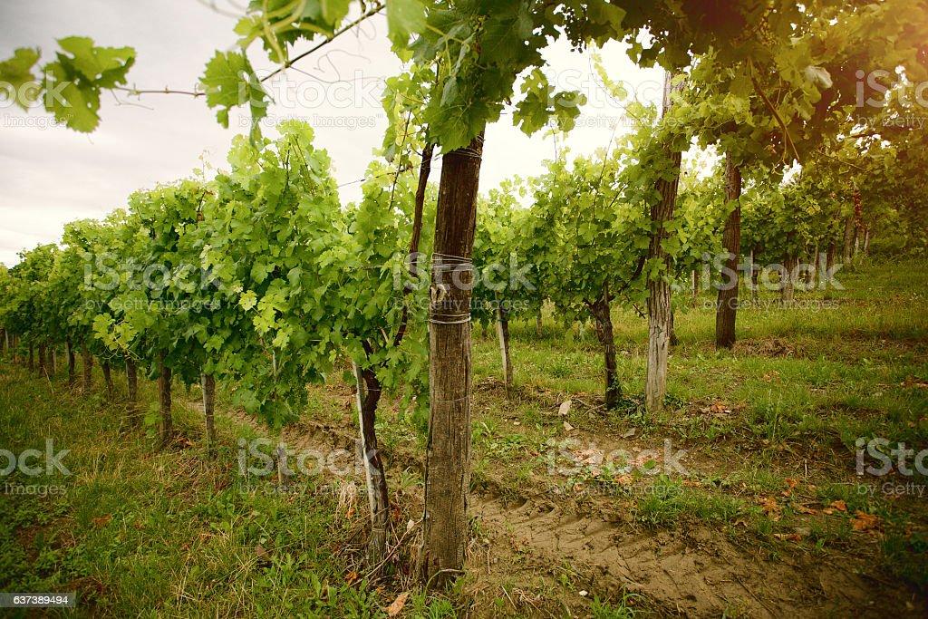 Vignobles dans le matin - Photo