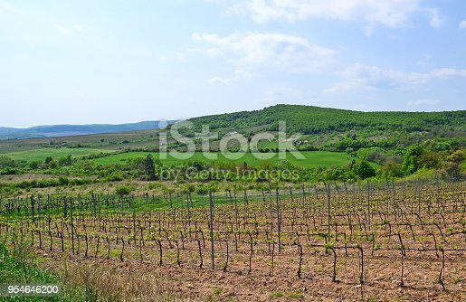 Vineyard in the mountain Zemplen, Hungary