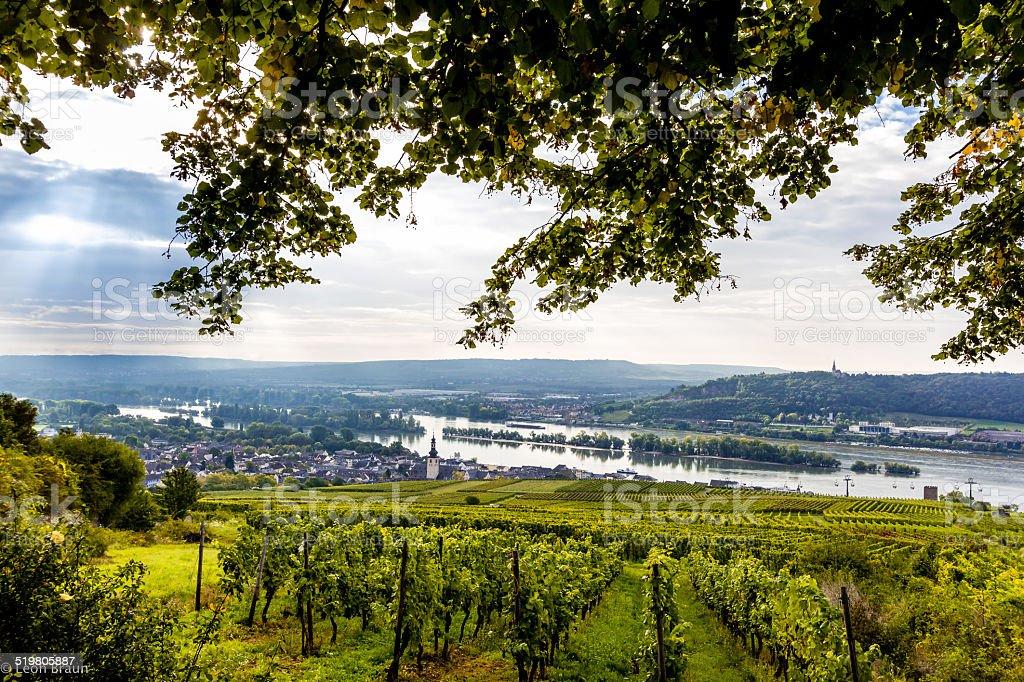 Vineyard in the Rheingau stock photo