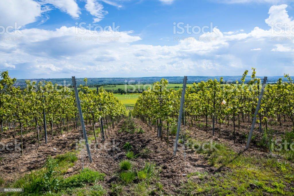 vineyard in the Rheingau, the wine area at river Rhine stock photo