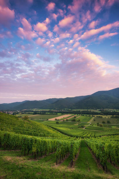 Vineyard in the valley of Munster in the Alsace, France. During sunset stock photo