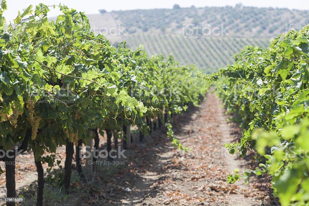 Vineyard in Turkey royalty-free stock photo