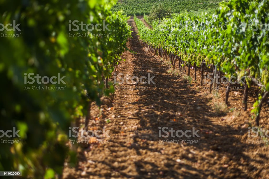 Vineyard in Tuscany stock photo