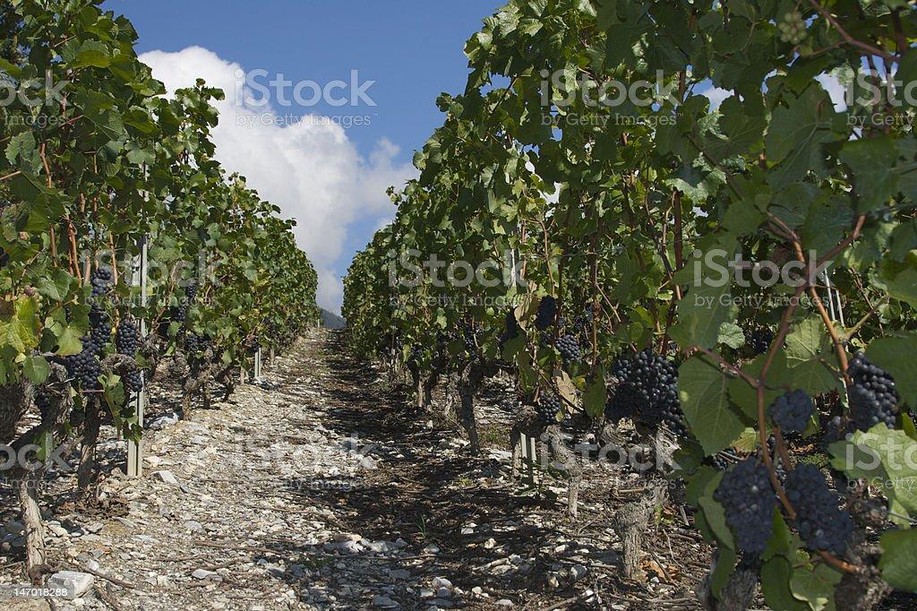 vineyard in vailais stock photo