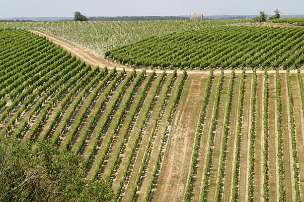 Vineyard in Val de Loire stock photo