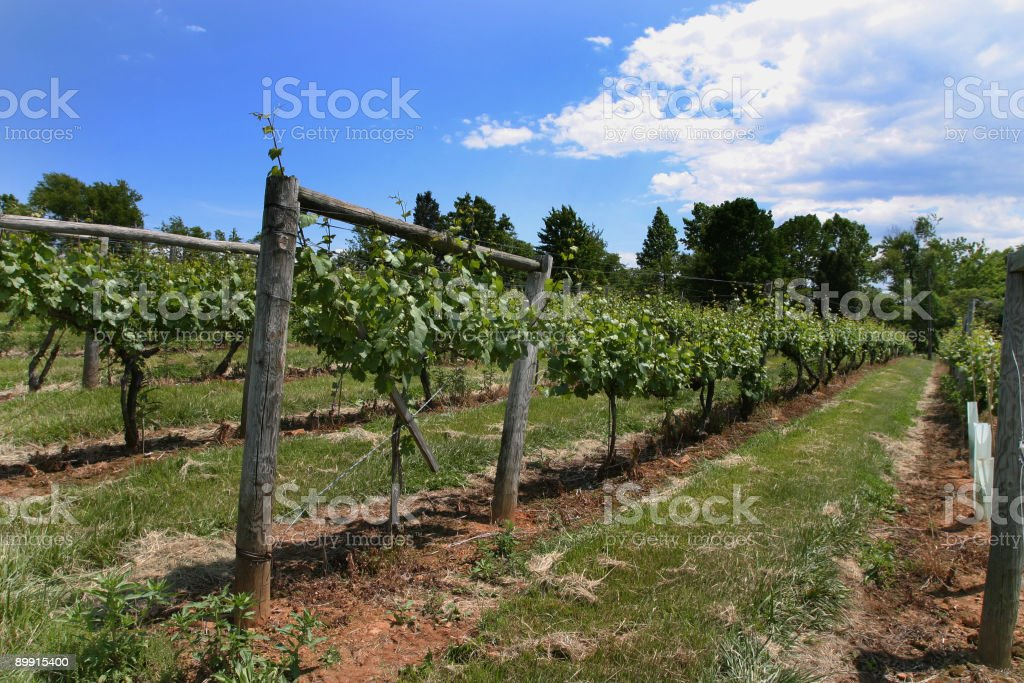 Vineyard in Virginia stock photo