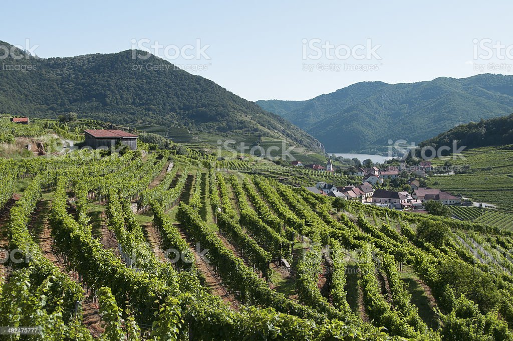 Vineyard in Wachau stock photo