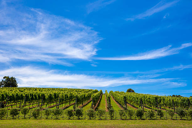 Vineyard in Waiheke Island stock photo