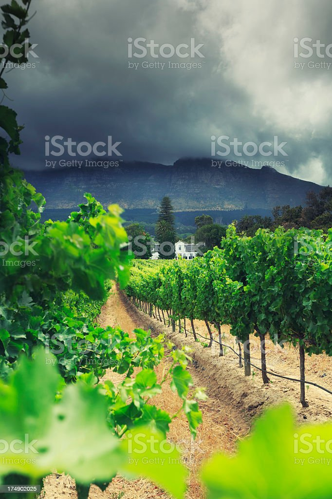 Vineyard in Western Cape province, South Africa stock photo