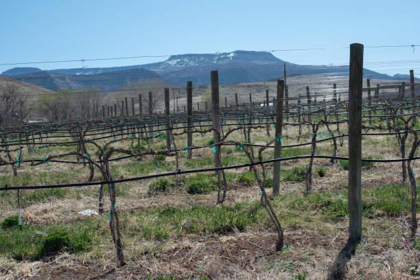A vineyard in western Colorado stock photo