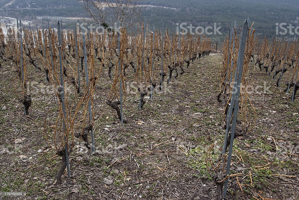 Vineyard in winter royalty-free stock photo