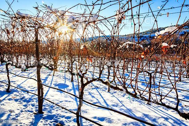 Photo of Vineyard in winter