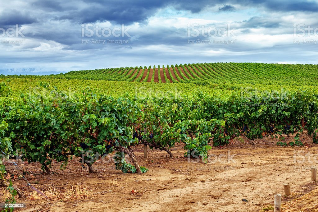 Vineyard, La Rioja. Spain stock photo