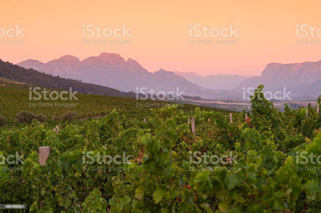 vineyard landscape at sunset with mountains in stellenbosch, south africa stock photo