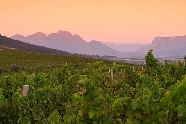 vineyard landscape at sunset with mountains in stellenbosch, south africa Vineyard landscape at sunset with mountains in Stellenbosch, near Cape Town, South Africa. western cape province stock pictures, royalty-free photos & images
