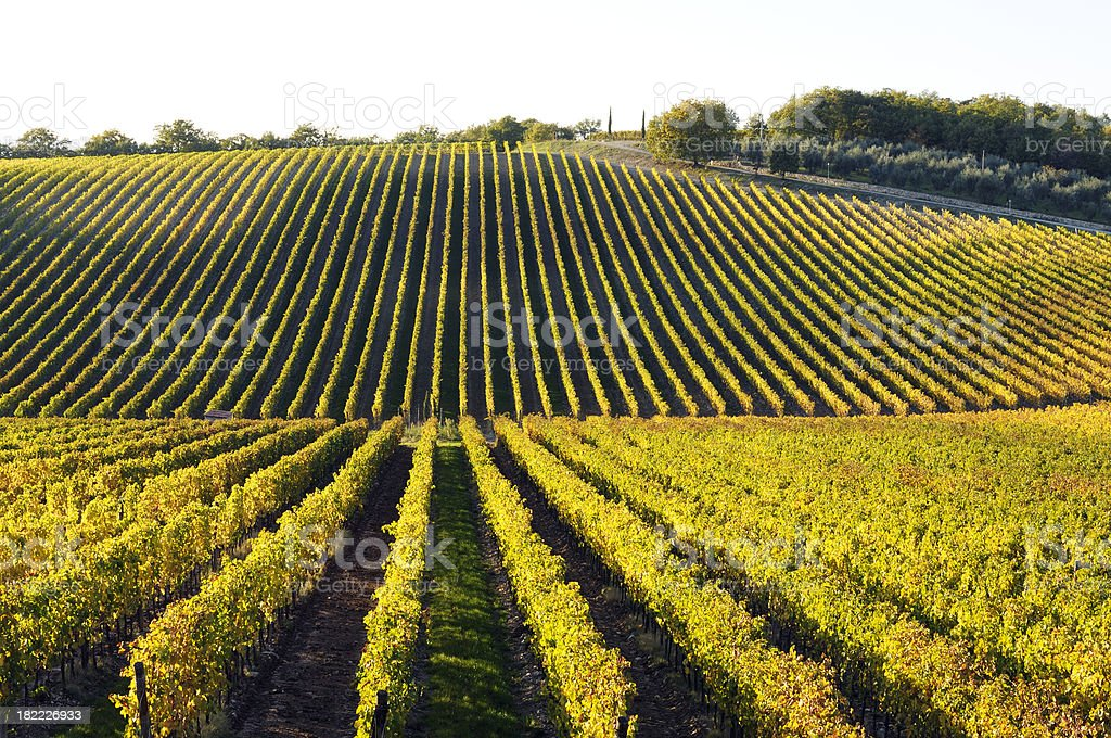 Vineyard Landscape in Autumn royalty-free stock photo
