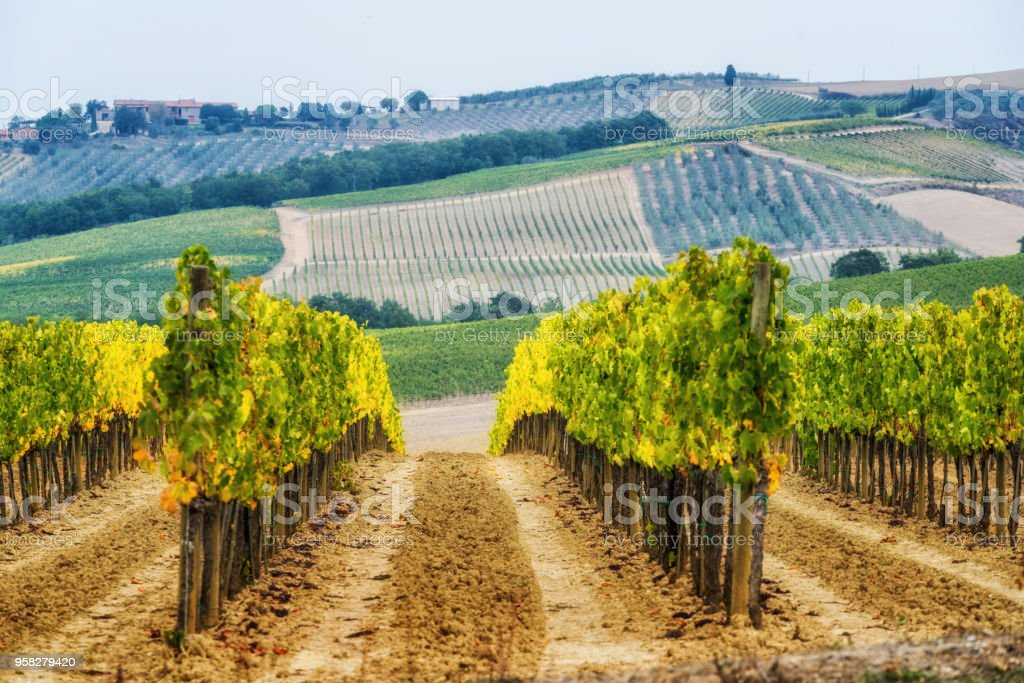 Vineyard Landscape In Tuscany Italy Stock Photo - Download Image Now