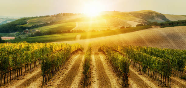Vineyard landscape in Tuscany, Italy. Vineyard landscape in Tuscany, Italy. Tuscany vineyards are home to the most notable wine of Italy. sonoma stock pictures, royalty-free photos & images