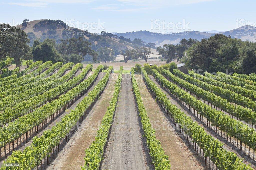 Vineyard Landscape royalty-free stock photo