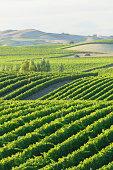 Golden skies over vineyard at sunrise in Napa Valley, California