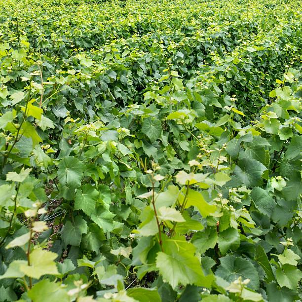 Vineyard landscape Vineyard landscape, Montagne de Reims, France marne stock pictures, royalty-free photos & images
