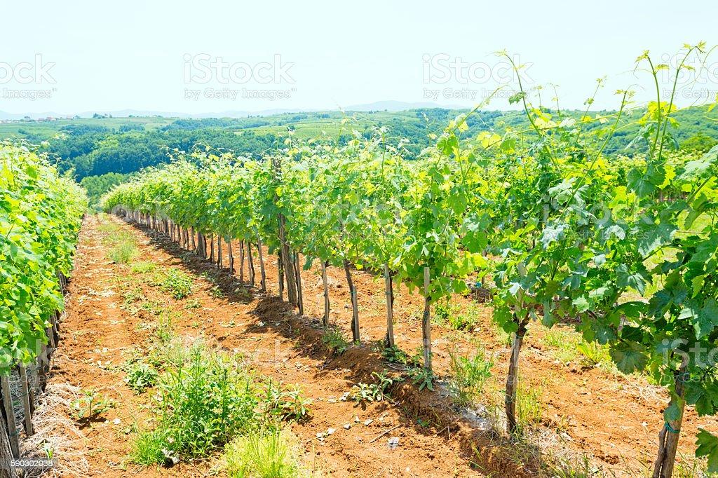 Vineyard landscape royaltyfri bildbanksbilder