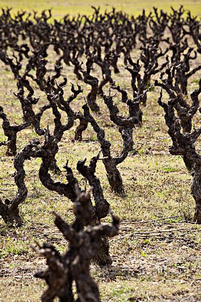 Paisaje de viñedos - foto de stock