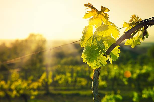 vineyard leaf at chianti region hills on sunset in tuscany - vineyard bildbanksfoton och bilder