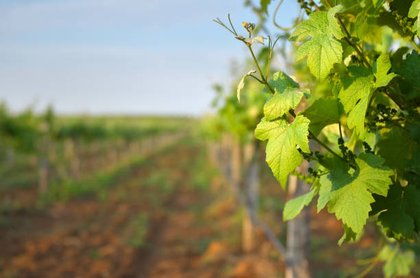 Vineyard leaf closeup stock photo