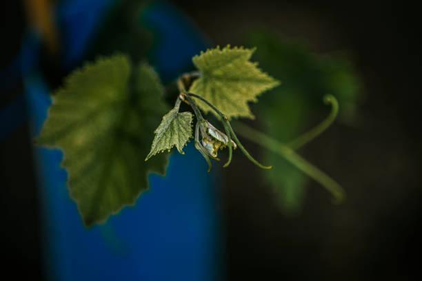 Vineyard Leaf stock photo