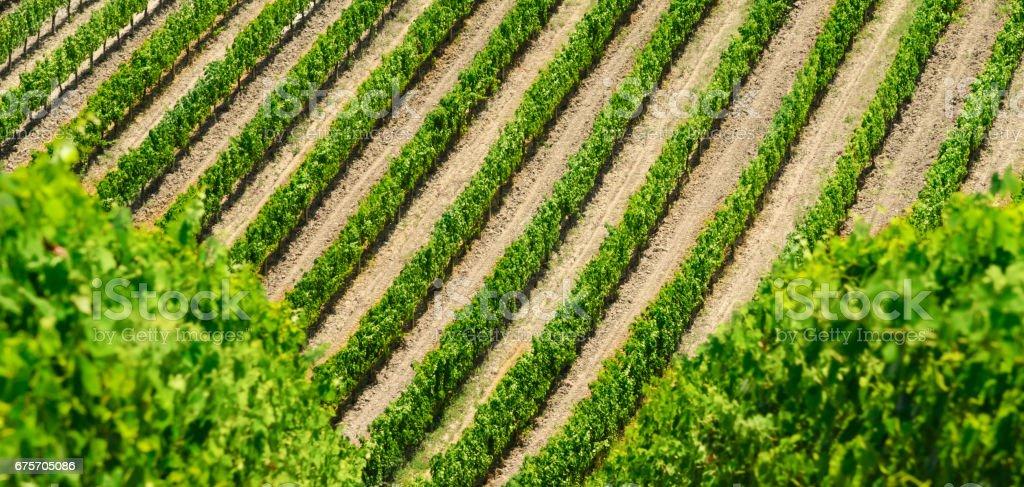 Vineyard lines view 免版稅 stock photo
