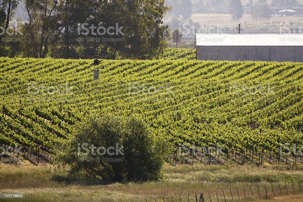 Vineyard Misty Morning royalty-free stock photo