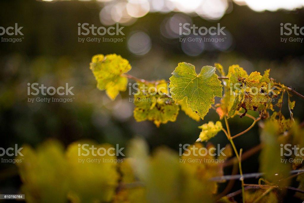 Vineyard Morning stock photo