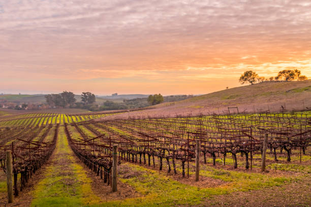 vineyard Napa 7023 stock photo