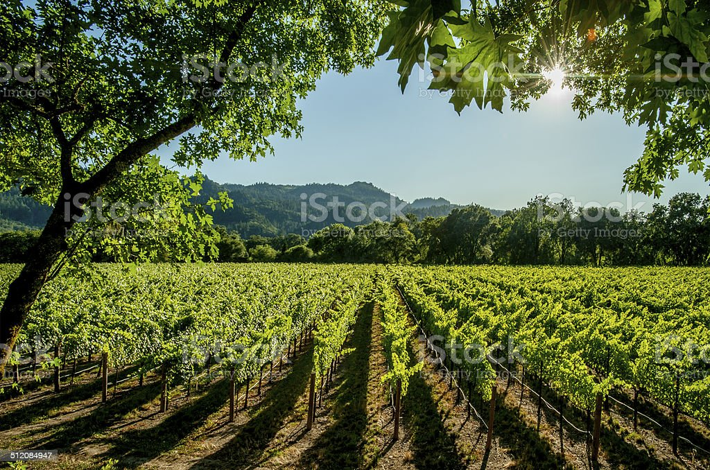 Vineyard, Napa stock photo