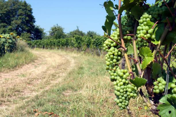 Vineyard near a dusty path stock photo