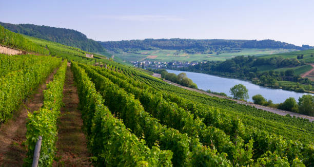 Vineyard near Ahn, Luxembourg stock photo