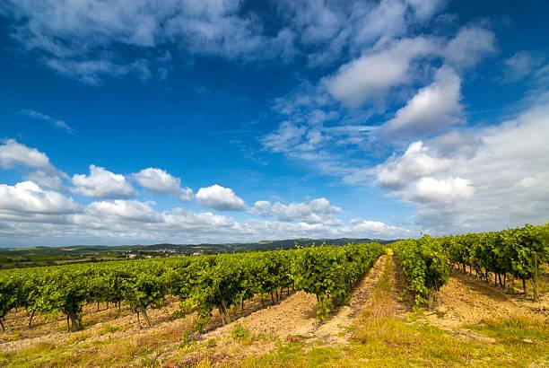 Vineyard, perto de Carcassonne (França - foto de acervo