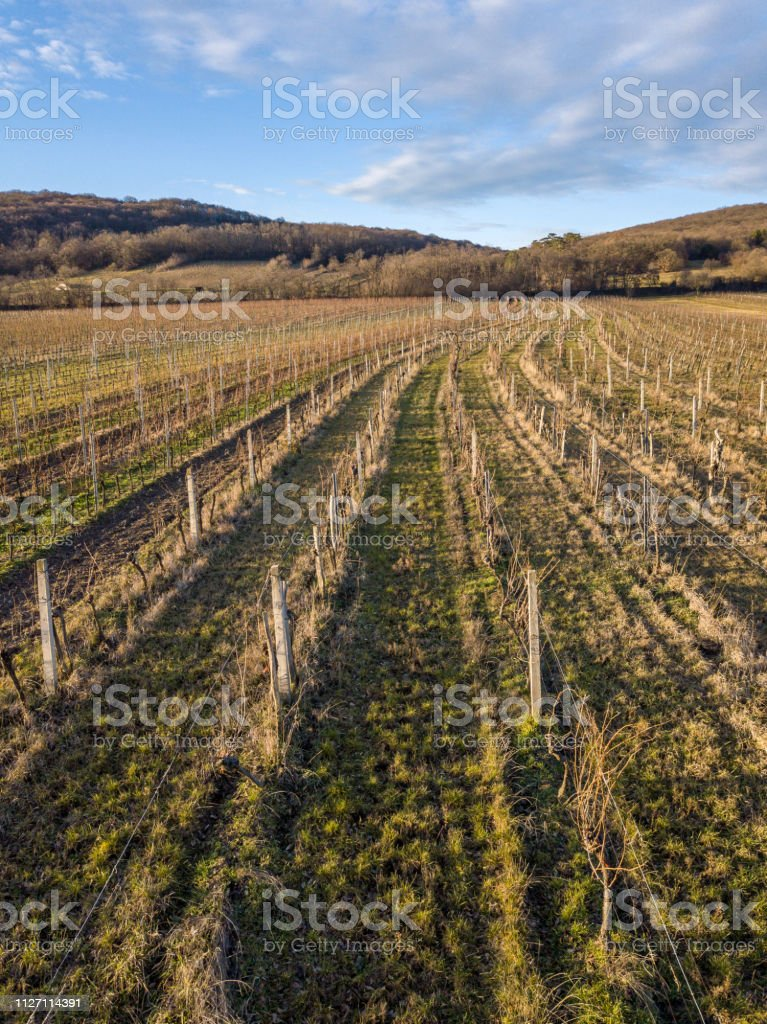 A vineyard near Eisenstadt at the bottom of the Leithagebirge, Burgenland, Austria stock photo
