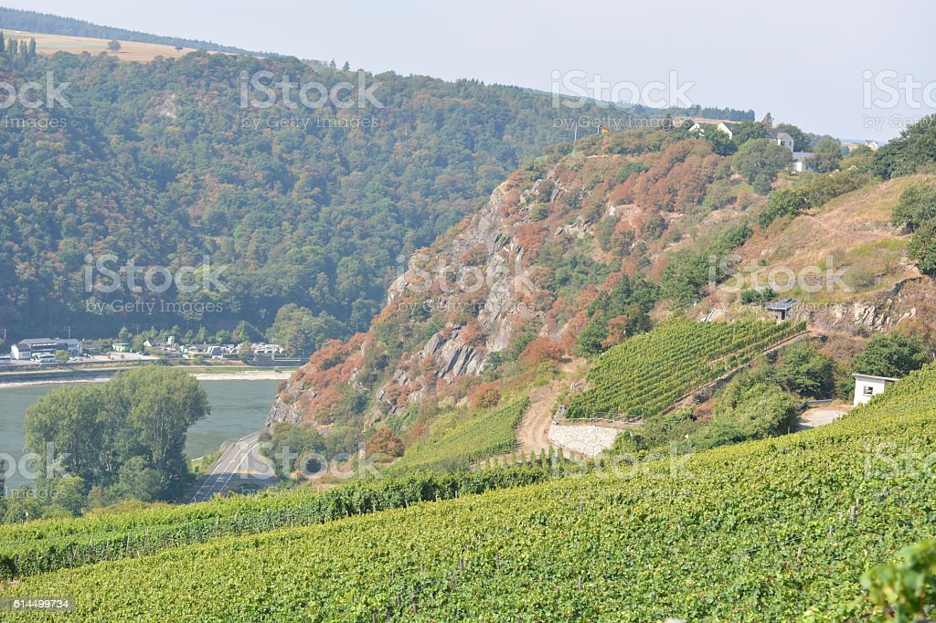 Vineyard near Loreley stock photo