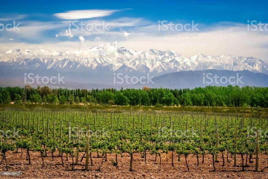 Weinberg in der Nähe von Mendoza – Foto