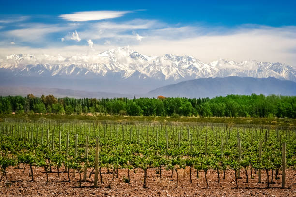 Vineyard near Mendoza Organic vineyards near Mendoza in Argentina with Andes in the background Argentina stock pictures, royalty-free photos & images