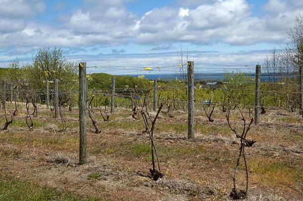 Vineyard near Traverse City in Spring stock photo