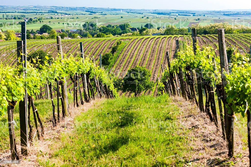 vineyard near Unterretzbach stock photo