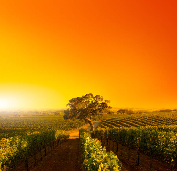 Vineyard Oaktree at Sunset Beautiful composite of a vineyard with rows of vines lead to a majestic oak tree. sonoma stock pictures, royalty-free photos & images