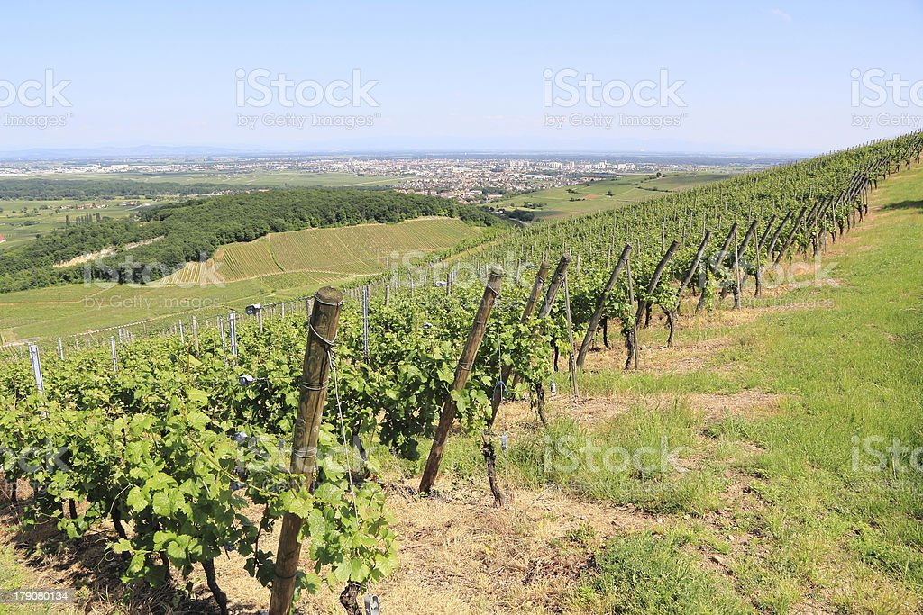 Vineyard of Alsace royalty-free stock photo